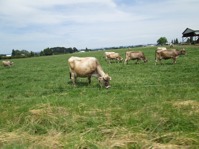 Dairy Cows in Verboort