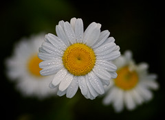 Dew-Covered Daisies
