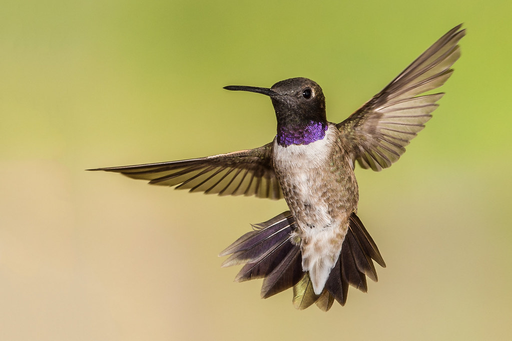 Black Chinned Hummingbird Eric Gofreed Flickr