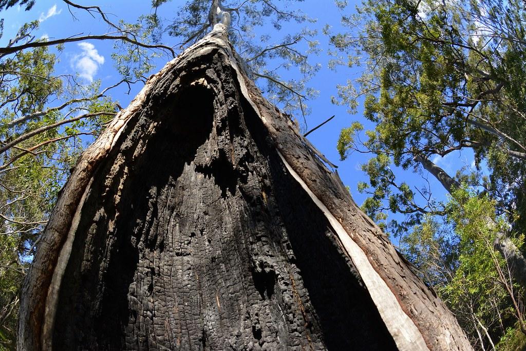 Charred Heartwood Eucalyptus Pilularis X