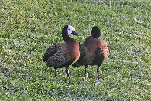 FL: White-faced Whistling Ducks