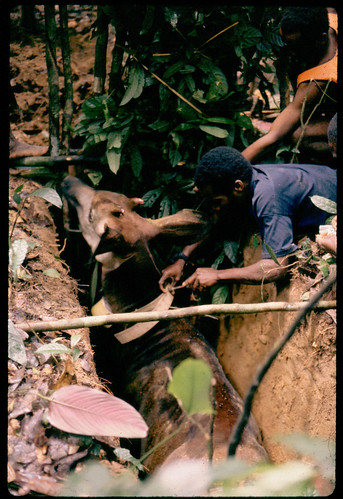 1988 in the Ituri Forest, DieuDonné fastens radio collar