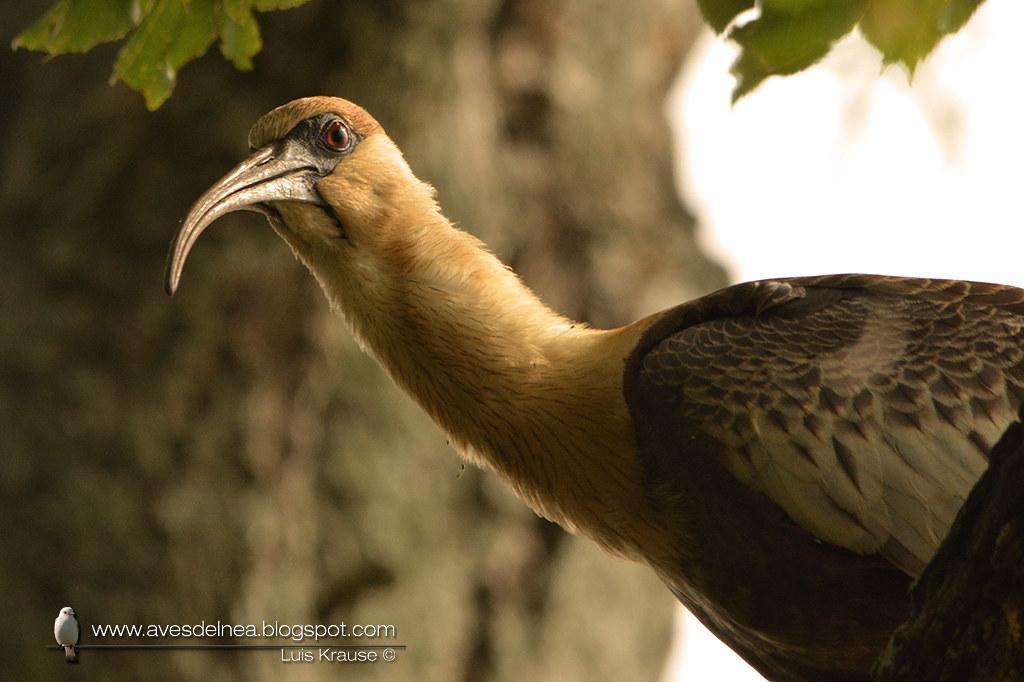 Bandurria boreal (Buff-necked Ibis) Theristicus caudatus