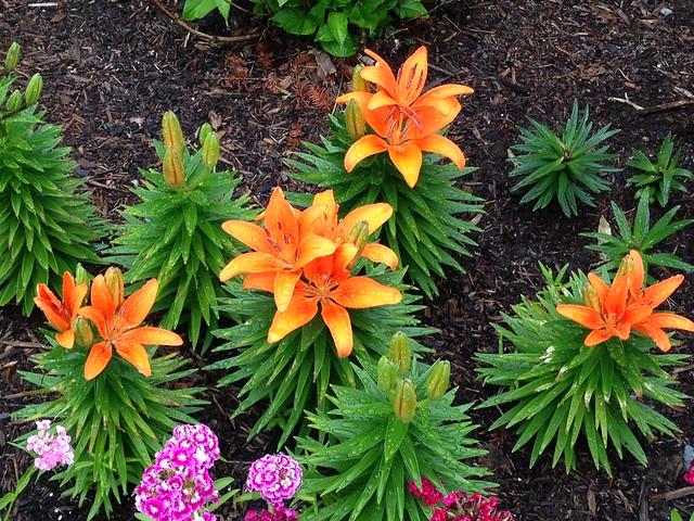 Dwarf lilies after rain