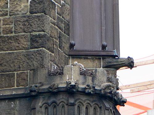 Cathedral Hawk Nestling - 3921