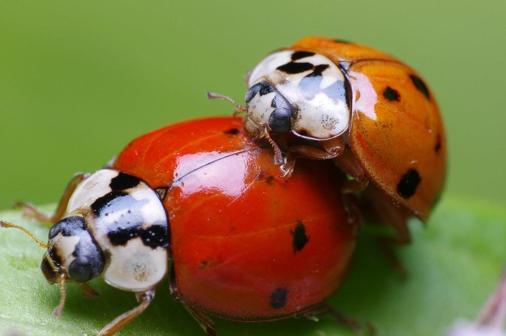 United Colors of Ladybugs | Front yard macro. Reversed ...