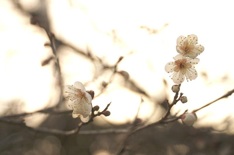 梅の花|ume blossom