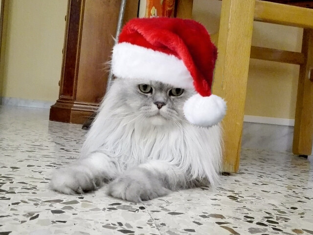 Christmas greetings 2016 with romeo the persian cat flickr romeosilverpersian christmas greetings 2016 with romeo the persian cat by romeosilverpersian m4hsunfo