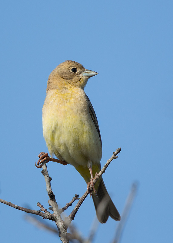 Black-headed Bunting  Bulgaria