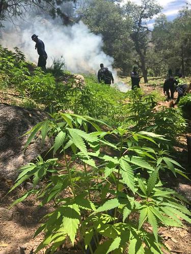 Policía Federal destruye más de 73 toneladas de marihuana en sonora