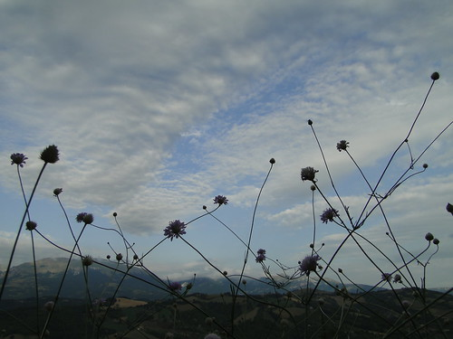 Scabiosa sky | by nightcloud1