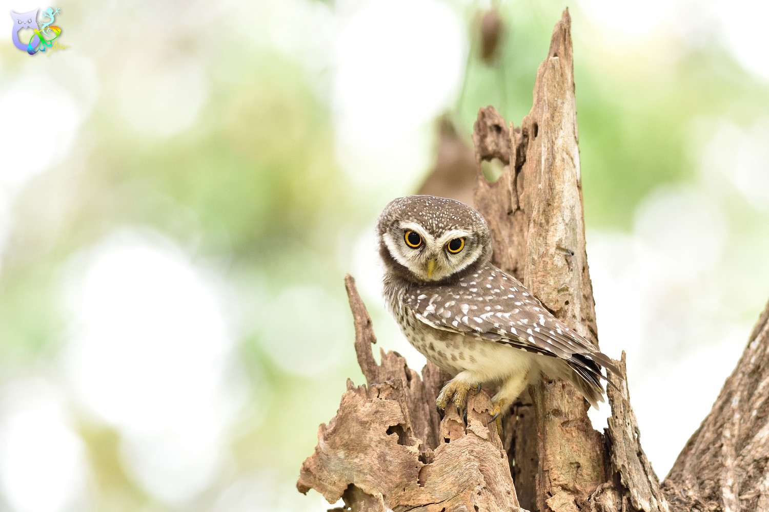 Spotted_Owlet_3310
