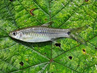 striped killifish