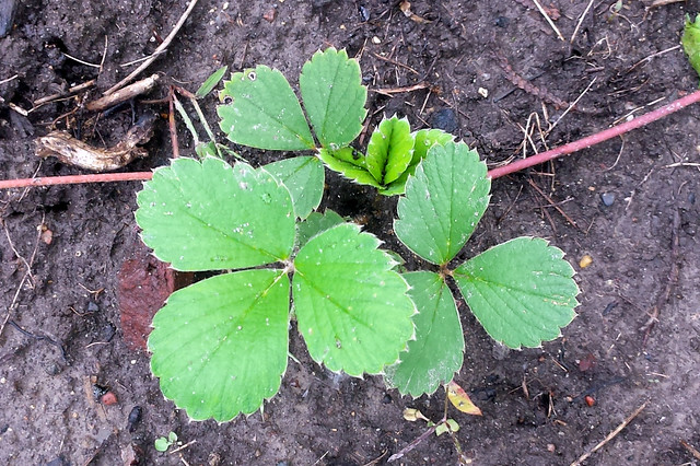 four sets of three strawberry leaves, one just opening, with vine to the left and right