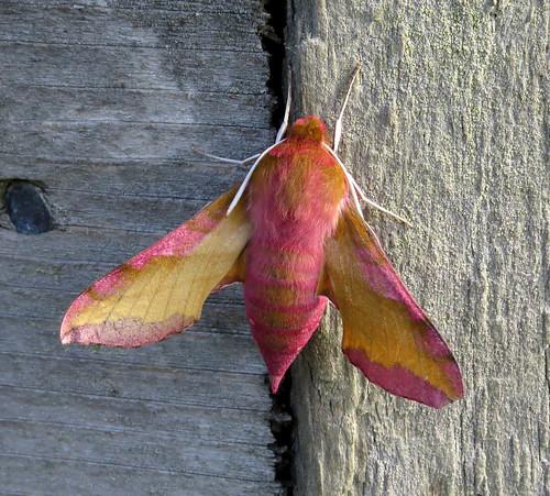 Small Elephant Hawk-moth Deilephila porcellus Tophill Low NR, East Yorkshire June 2015