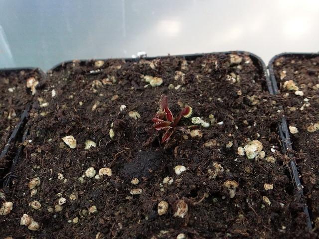 Dionaea muscipula 'Bohemian garnet'