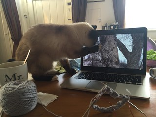 cat watching video for cats. Birman
