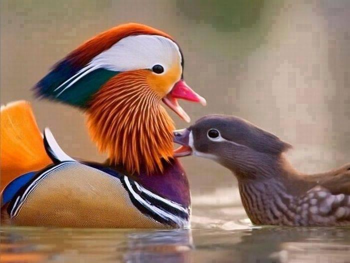19325091092 69b3927d5b o - Mandarin Ducks