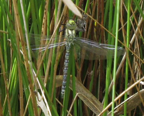 Southern Hawker Aeshna cyanea Tophill Low NR, East Yorkshire June 2015