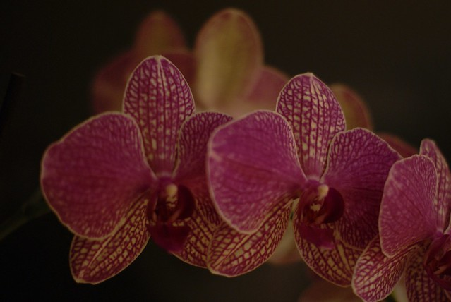 Dark-Veined Orchid