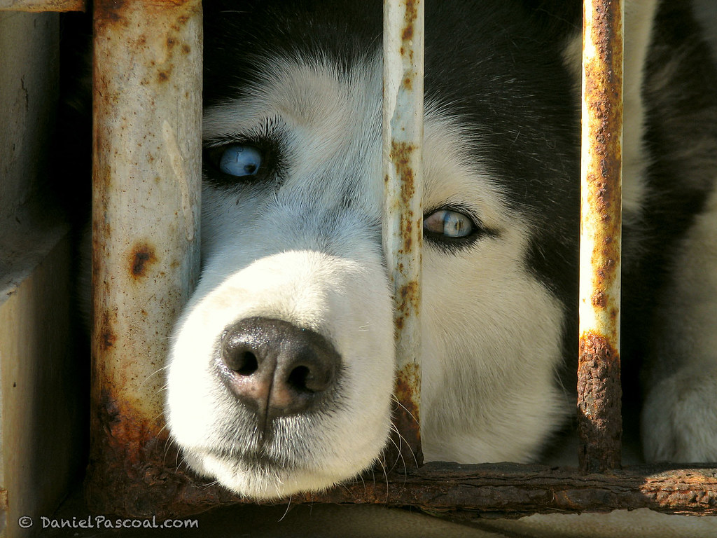 Sad Husky | Daniel Pascoal | Flickr