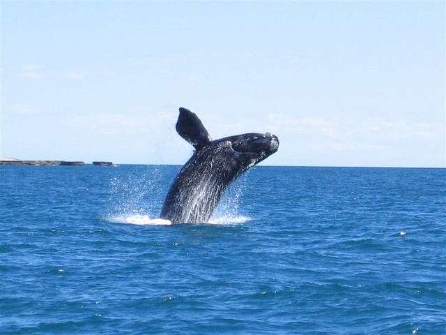Southern Right Whale at Puerto Madryn, Argentina
