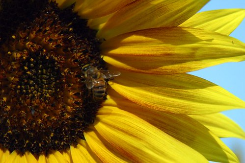 Blush An Autumn Beauty Sunflower Grown In My Sepulveda