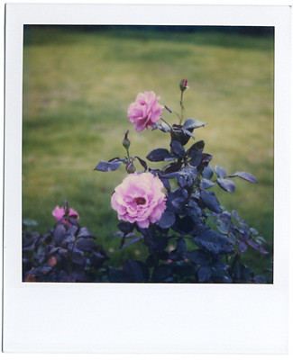 Rose | by Nariaki