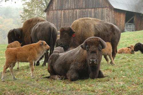 Bison Farm-Harmonyvill...