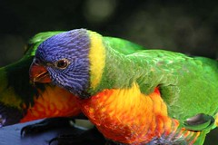 Rainbow Lorikeet | by iansand