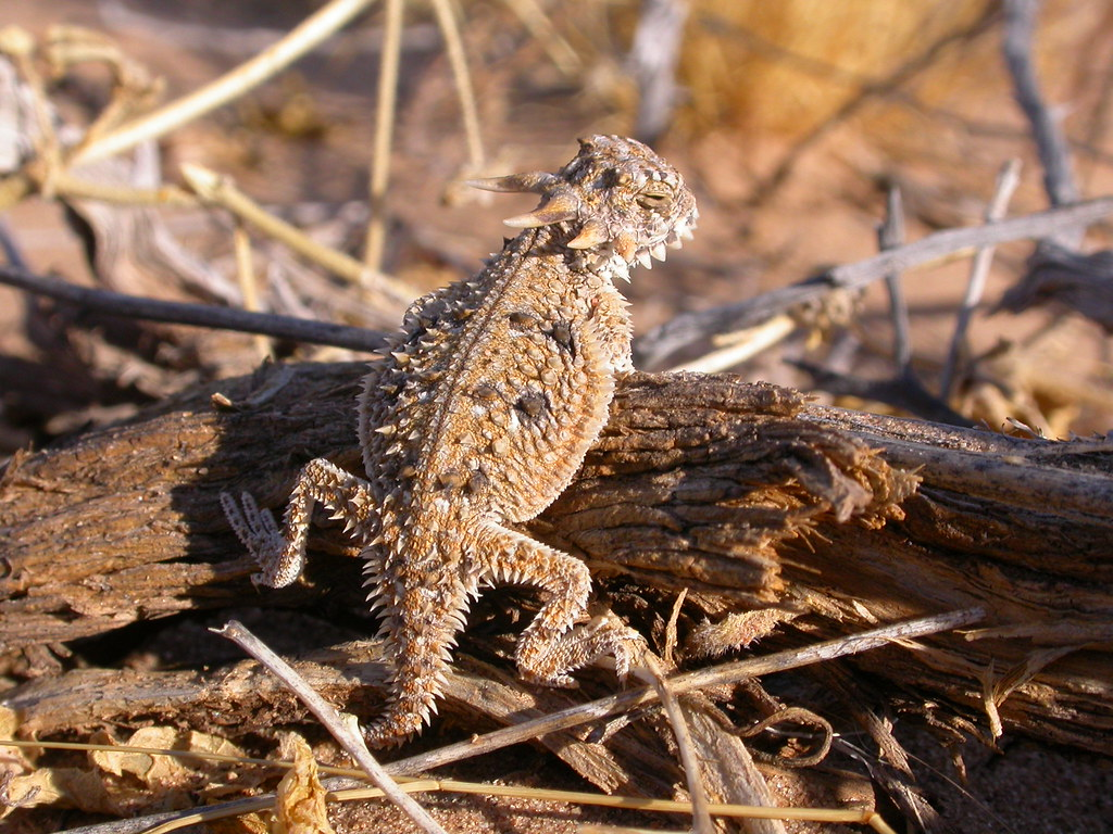 Baby Flat Tailed Horned Lizard Hatchling Seen June 2005