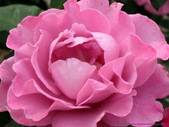 Fluffy Pink Rose | by PhotosByTamar