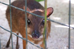 Sam the Mouse-deer | by RipperDoc