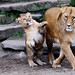 Lion with cub, Artis zoo