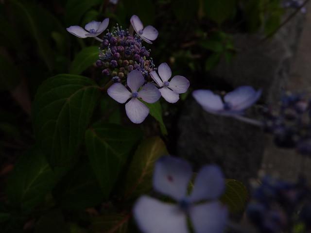 411 - wisteria2-kozo
