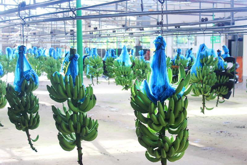Costa Rica Bananenplantage