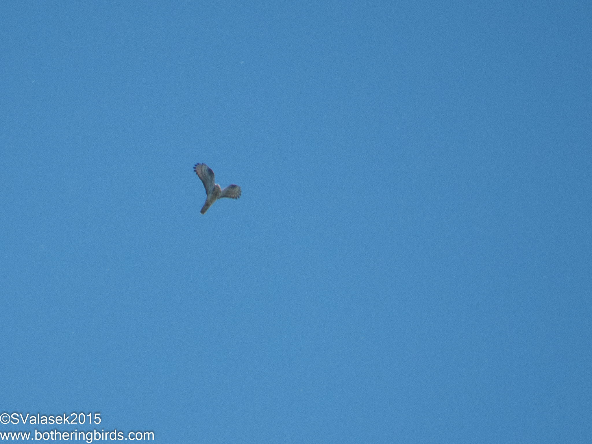 Honey Buzzard display flight