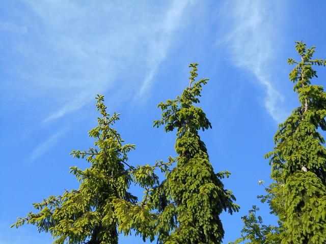 Surukuusia (Picea abies f. pendula) ja untuvapilviä 12.6.2015 Meilahden arboretum Helsinki