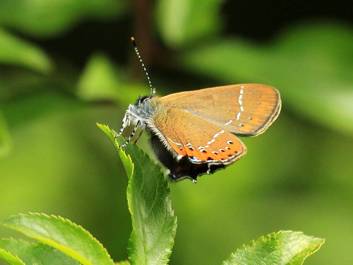 Black Hairstreak 9127