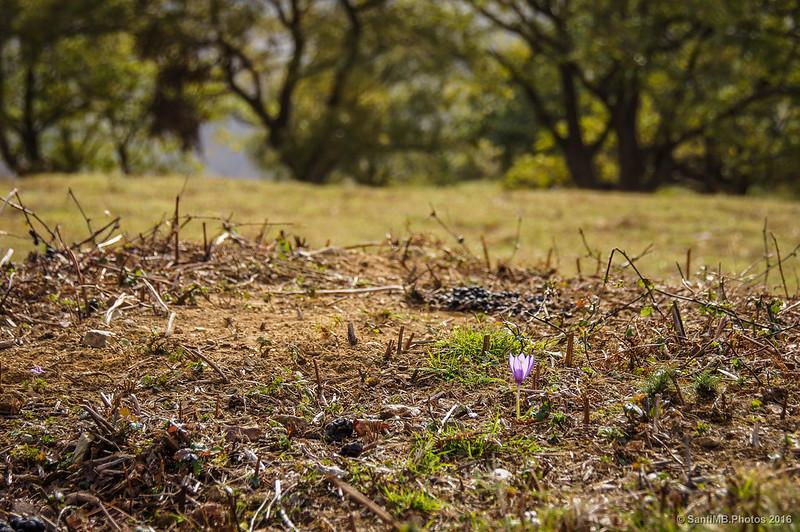 Flor de Crocus en el monte Azkar