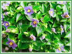 Captivating violet-blue flowers of Exacum affine (Persian Violet, Exacum Persian Violet) in our tropical garden, 1 June 2013