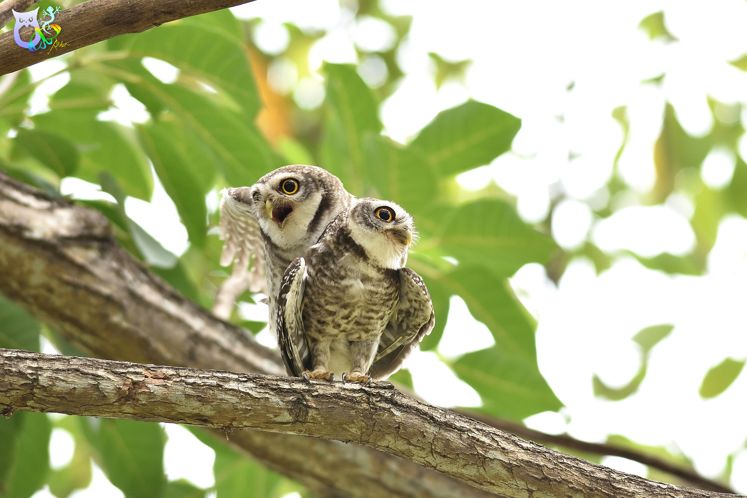 Spotted_Owlet_3282