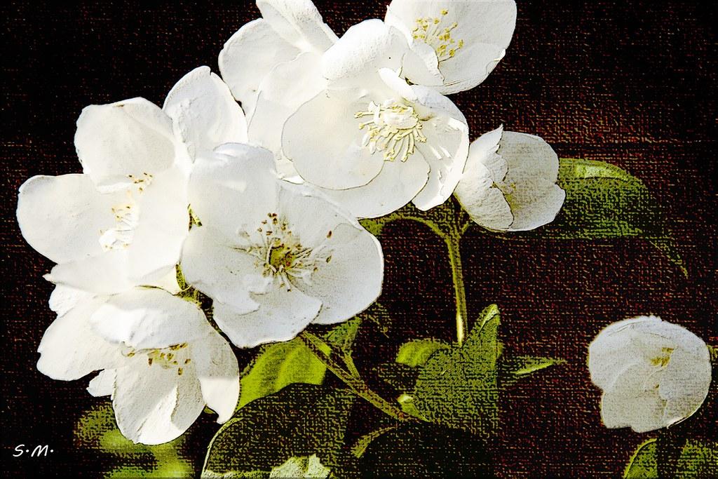 Immagini Fiori Bianchi.Fiori Bianchi My Texture Www Cameralenscompare Com Photoaw Flickr