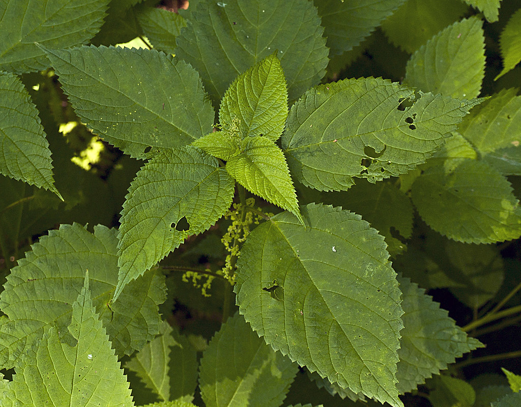 wood nettle 1   by cwohlers