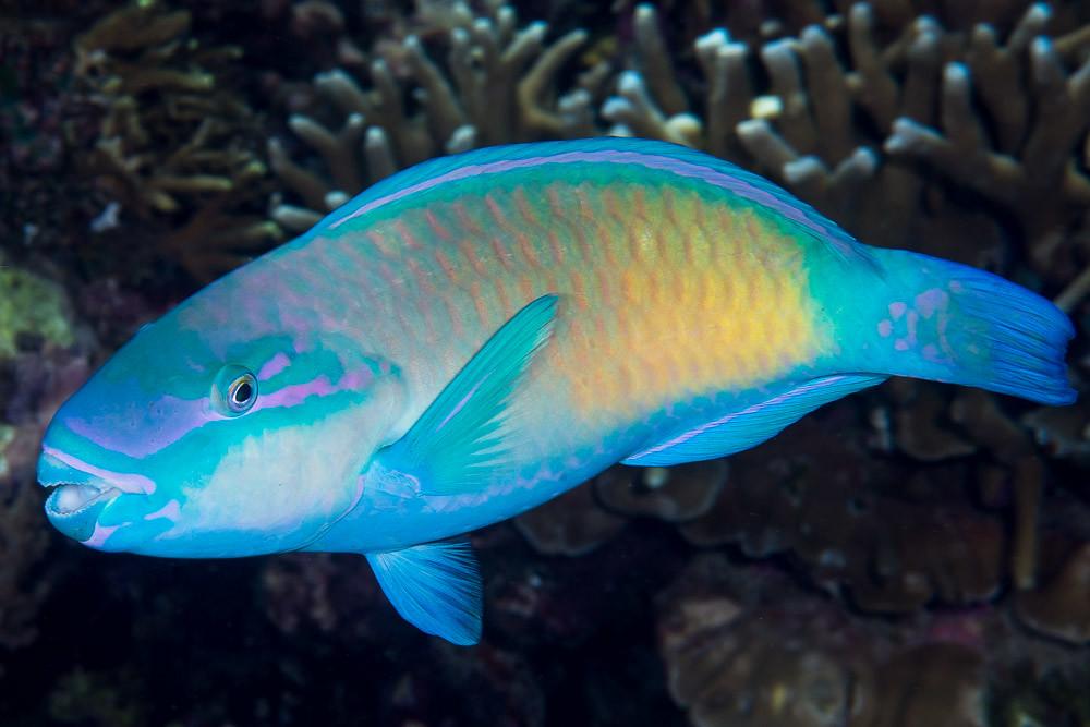 Bullethead Parrotfish Pacific Ocean Terminal Phase Chlo