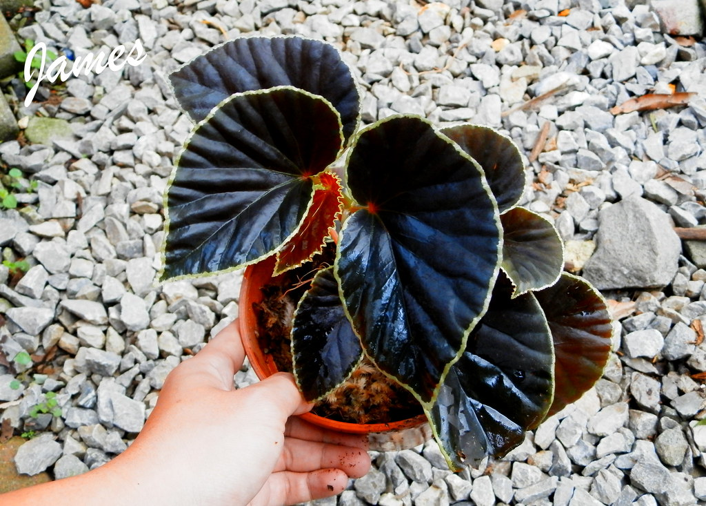 Image result for Begonia darthvaderiana