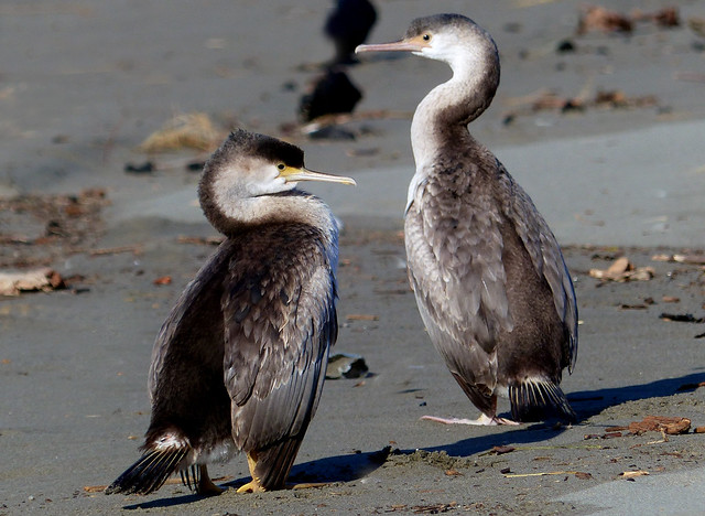 A pair of Pied  Shags.NZ
