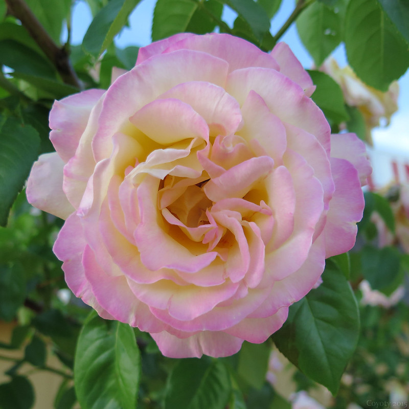 Perfect pink and yellow rose