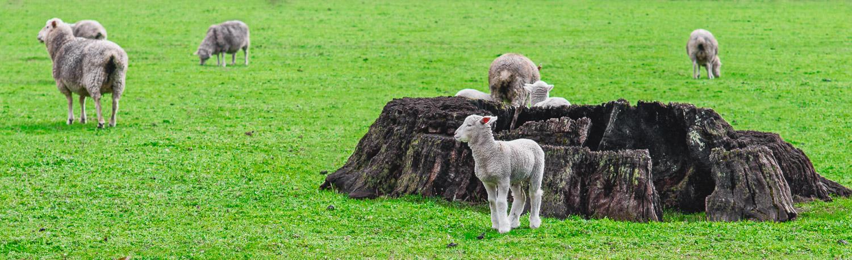 Sheep, Australia