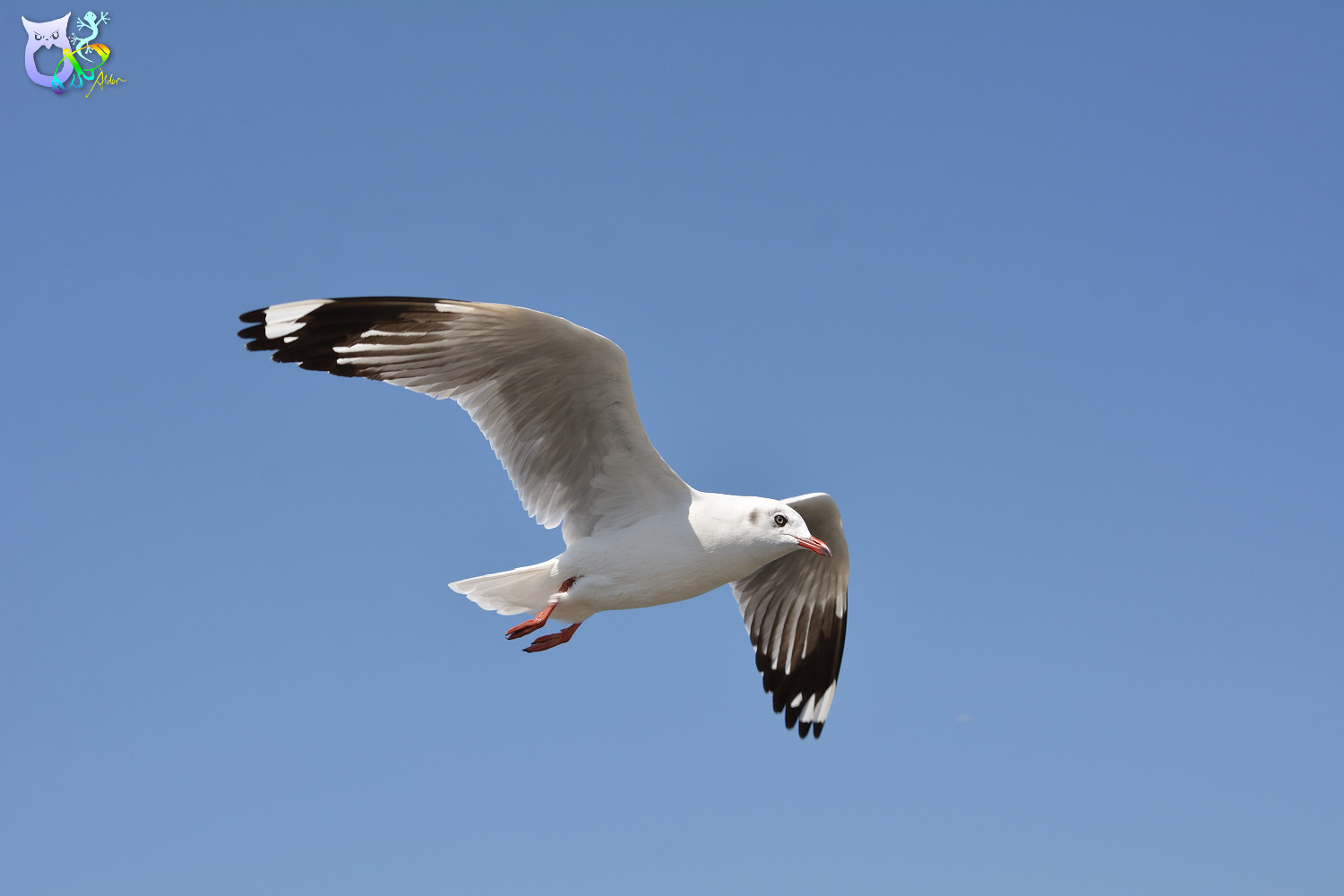 Brown-headed_Gull_2956